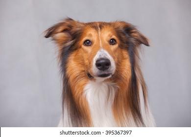 Purebred Rough Collie dog portrait  in studio