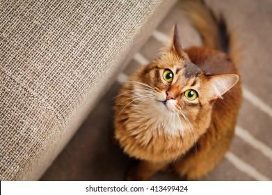Purebred ruddy somali cat looking up staring at the camera.