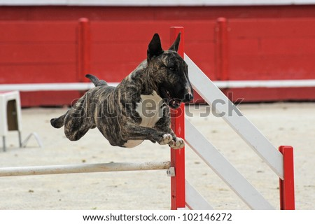 purebred running bull terrier in a competition of agility