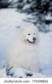 Purebred Samoyed dog outdoors in a Sunny winter day.
