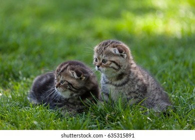 Purebred Scottish Fold kittens sit side by side in the green meadow