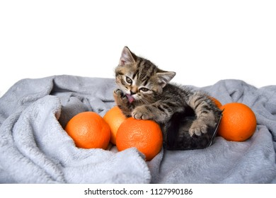 Purebred Scottish spicy golden tabby playful kitten in a bowl with oranges licking. Cat with fruit.