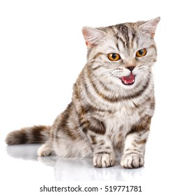 Purebred Scottish Straight Male Cat siting on Isolated white Background