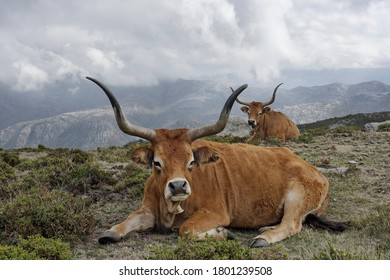 Purebred semi-wild mountain cattle from Peneda Geres national park, north of portugal
