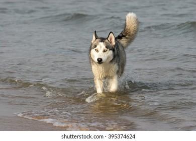 Purebred Siberian husky  dog  portrait  in outdoors