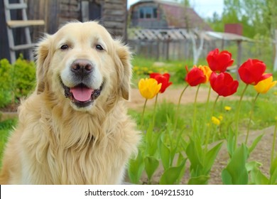 Purebred smiling dog breed golden retriever in a country near a summer house