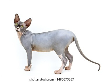A purebred sphynx cat during a photo shoot. It is a hairless cat.