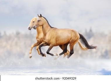 purebred stallions in snow