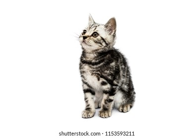 Purebred striped black and gray scottish straight  kitten sits isolated on white background and looks up. Charming fluffy cat with yellow eyes.