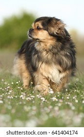 Purebred tibetan spaniel posing in a field of flowers, the Netherlands
