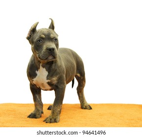 Purebred Tricolor Blue Nose American Bully Puppy