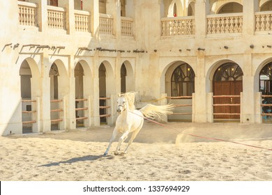 Purebred white Arabian horse running in a paddock in Doha city center, Capital of Qatar. The traditional stables are part of old Souq Waqif market area. Middle East, Arabian Peninsula in Persian Gulf.