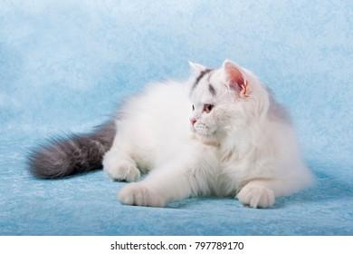 Purebred white cat lying on blue background