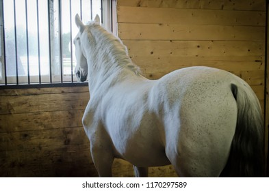 Purebred white gray Lipizzan stallion in a barn stable stall.