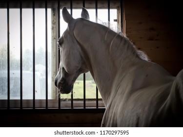 Purebred white gray Lipizzan stallion in a barn stable stall.
