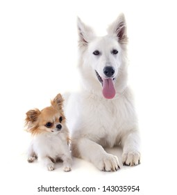Purebred White Swiss Shepherd and chihuahua in front of white background