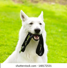 Purebred White Swiss Shepherd  with a leash in his mouth