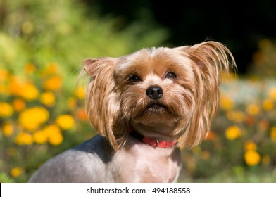 Purebred yorkshire terrier outdoor portrait near flowerbed with Marigolds
