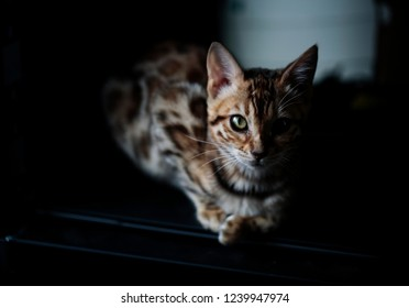 Purebred Young Bengal Kitten on rsting on her Blanket