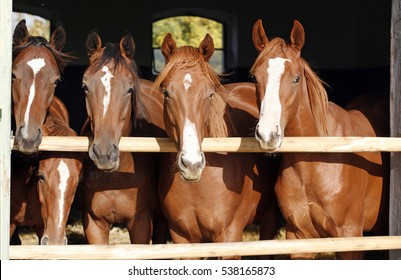 Purebred young chestnut racehorses looking over the barn door against summer afternoon lights