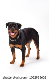Purebred young rottweiler, studio shot. Domesticated rottweiler dog standing on white background. Beautiful puppy, studio portrait.