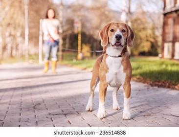 Purebreed beagle on the long lead