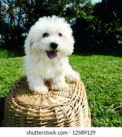 Purebreed bichon frise puppy on a basket