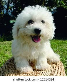 Purebreed bichon frisee puppy on a basket
