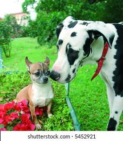 Purebreed chihuahua making friends with a purebreed great dane dog