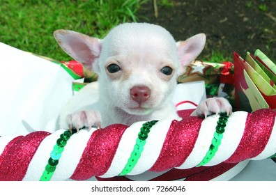 Purebreed chihuahua puppy with christmas decoration