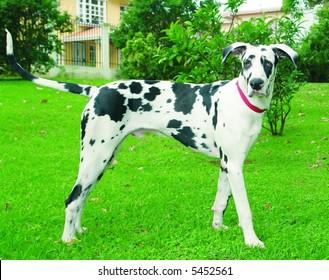 Purebreed great dane dog standing sideways