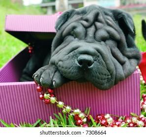Purebreed shar pei puppy as a christmas present