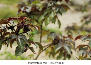 Purging Croton,Croton tiglium