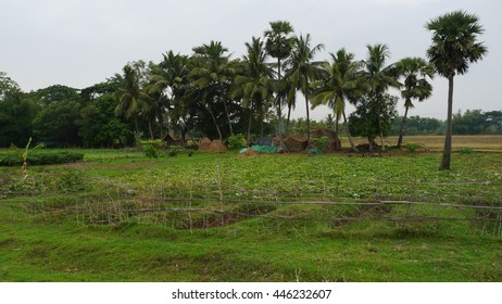 PURI, INDIA - 29 MAY, 2016: Beautiful coconut trees growing in green grass field.
