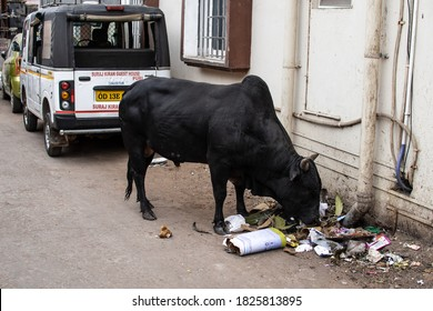 Puri, India - February 3, 2020: A big black cow eats trash from a pile of rubbish behind a car on the street on February 3, 2020 in Puri, India