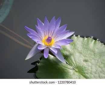 It is a purle water lily flower. Lotus flowers are very pretty and delicate