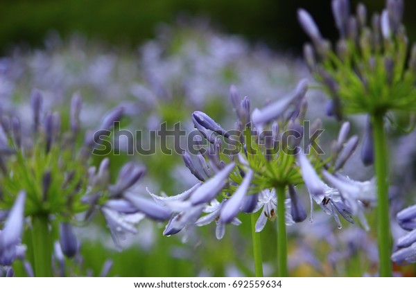 Purple Agapanthus