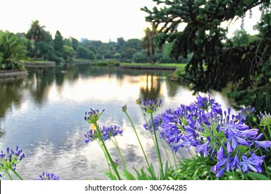 Purple Agapanthus flowers planted near to a lake of Royal Botanic Garden, Melbourne in the late evening