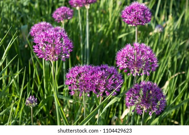 ?Blue Drumstick? Purple allium flower in early spring with blurred background