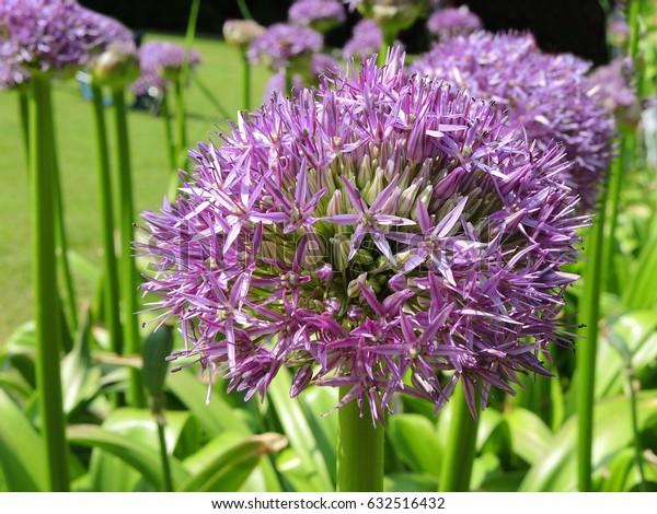 Purple Allium flower in full bloom