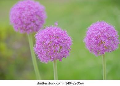 purple allium flower in garden
