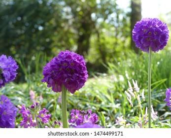 purple allium flower in springtime