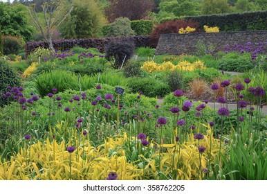 Purple Allium in the Hot Garden at Rosemoor in Devon, England, UK