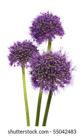 purple allium onion flower isolated on white