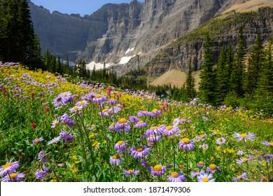 Purple Alpine Daisies in Wildflower Field Glacier National Park