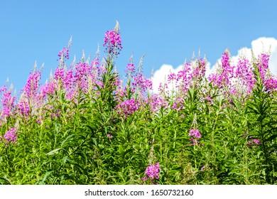 Purple Alpine fireweed. Pink-flowered Epilobium angustifolium blossom close-up. Willowherb in summer day