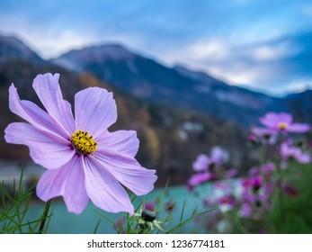 The purple alpine flower on the bank of Inn river in Innsbruck city, Austria