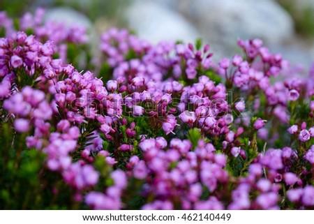 Purple alpine heather flowers bloom alpine stock photo edit now purple alpine heather flowers in bloom alpine meadows near whistler in garibaldi provincial park mightylinksfo
