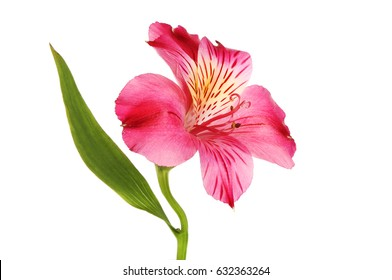 Purple Alstroemeria flower amd leaf isolated against white