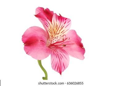 Purple Alstroemeria flower isolated against white